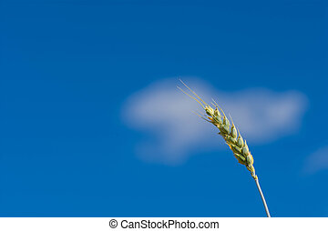 Wheat against blue sky