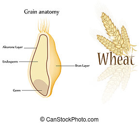 Wheat and grain anatomy. Cross section of grain. Endosperm, aleurone layer, germ and bran layer.