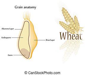Wheat and grain anatomy. Cross section of grain. Endosperm,...