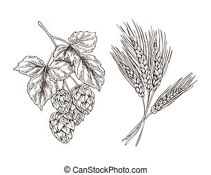 Wheat and Hop Bunches Isolated on White Background - Wheat ...