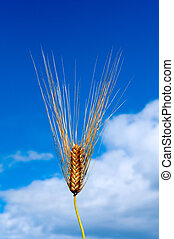 Wheat and sky - Single wheat over blue sky