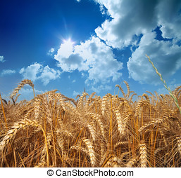 Wheat and sky - Wheat with cloudy summer sky