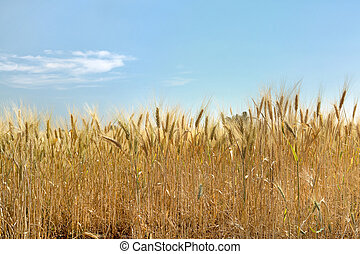 Wheat and summer clouds