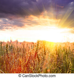 Wheat and sundown - Wheat field in the evening glow and...