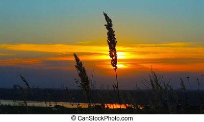 wheat at dawn