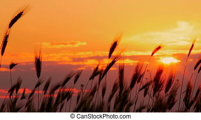 Wheat at sunset - Beautiful spikes of wheat against the...