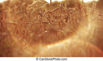 Wheat at Sunset HD