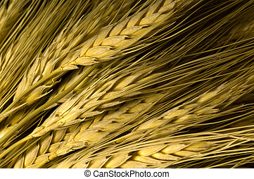 Wheat Background - Ripe wheat background