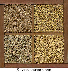 wheat, barley, oat and rye grain - 4 cereal grains in a ...