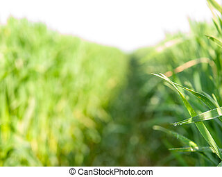 Wheat blade. Young green wheat grass sprouts on sunny field.