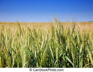 Wheat cereal plant - Green wheat cereal plant with blue sky