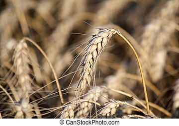wheat close up nature background