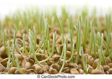 Close up of wheat germ on white background