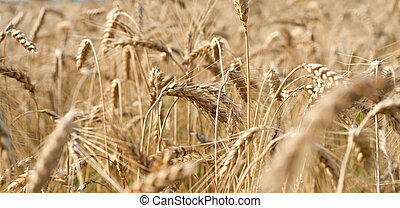 Wheat close-up on the field.