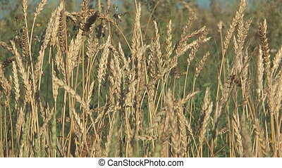 Wheat. - Close up shot of wheat ears.
