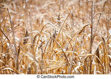 Wheat, closeup of wheat in a field