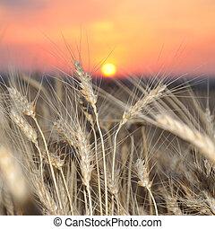 Wheat crop on a sunset