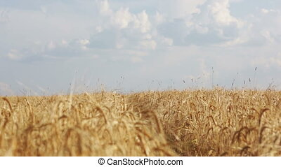 Wheat crop sways on the field against the blue sky