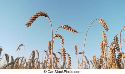 Wheat crop, up view. Clear blue sky background.