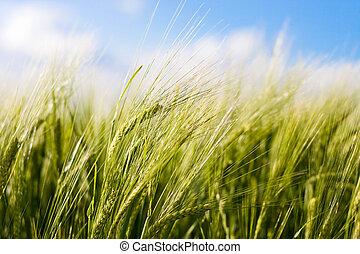 Wheat crop waving in the wind