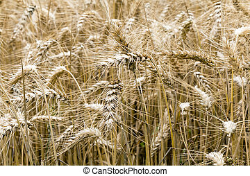 Wheat Crops Close Up