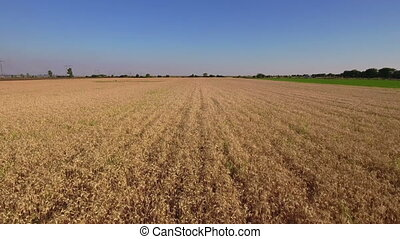 Wheat crops in field, cultivated cereal plants in summer....