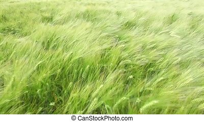wheat dancing in the wind