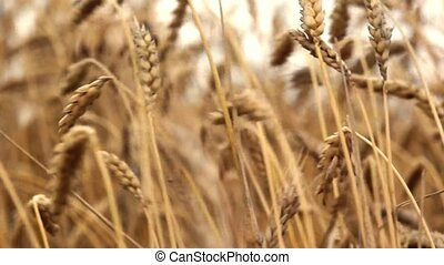 wheat detail on a field