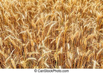 Wheat, detail