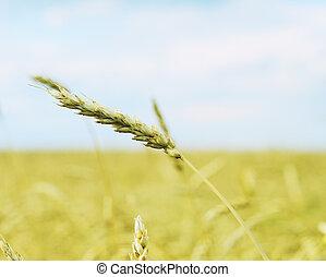 wheat ear against sky