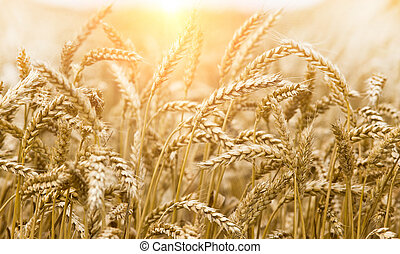 Wheat ear - Close up of golden wheat ear in summertime