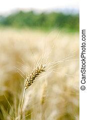 Wheat ear - Closeup of single wheat ear over blurred wheat...