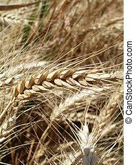 Wheat ear detail - Wheat ear closeup