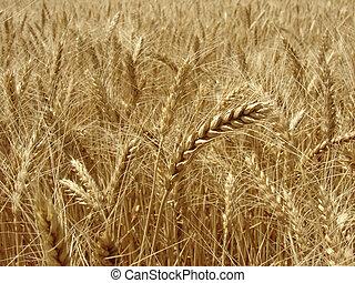 wheat ear - golden ear against ripening wheat field...