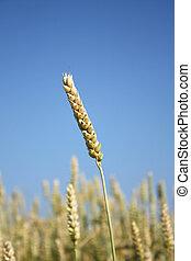 Wheat ear growing on field