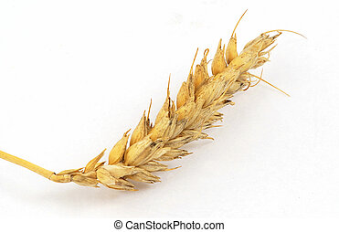 Wheat ear isolated on the white background