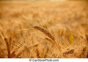 Wheat ear on field