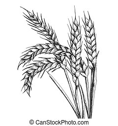 Wheat ear spikelet engraving vector illustration. Scratch...