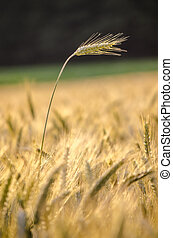 Wheat ear standing out of wheat field - Single wheat field...