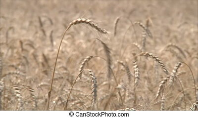 wheat ears 2
