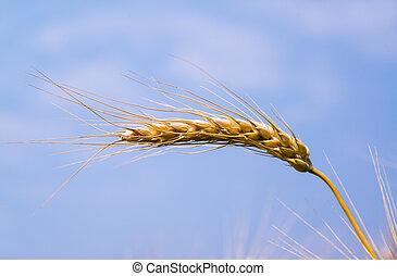 Wheat ears against the blue sky.