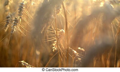 Wheat ears in Agricultural field - Wheat ears in...
