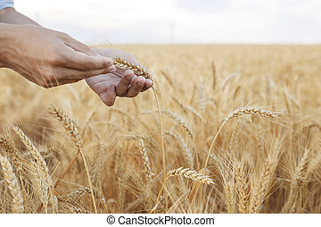 Wheat ears in farmer hands close up on field background