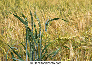 Wheat ears in front of barley
