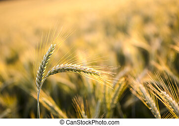 Wheat ears in summer