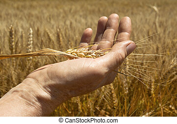 Wheat ears in the hand.