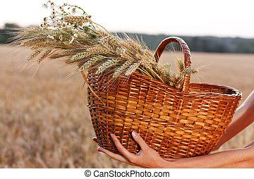 Wheat ears in the wicker basket in woman hands. Harvest concept