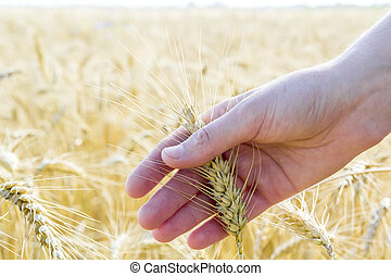 Wheat ears in woman's hand. Field on sunset or sunrise....