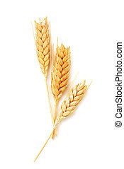 Wheat ears isolated - Golden wheat ears isolated on white...