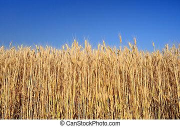 Wheat ears on blue sky background
